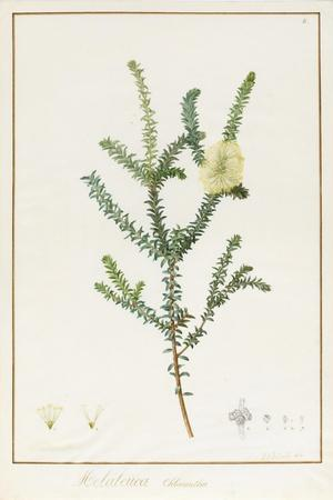Melaleuca Chlorantha, 1812 (W/C and Bodycolour over Traces of Graphite on Vellum)