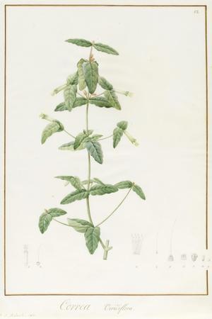 Correa Vieisiflora, 1811 (W/C and Bodycolour over Traces of Graphite on Vellum)