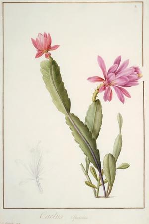 Cactus Speciosus, 1811 (W/C and Bodycolour over Traces of Graphite on Vellum)
