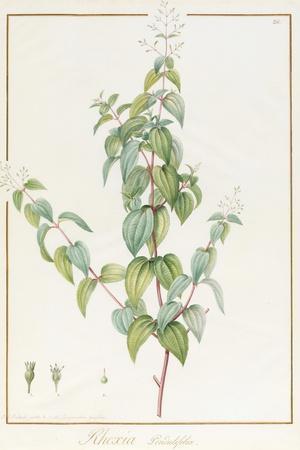 Rhexia Pendulifolia (W/C and Bodycolour over Traces of Graphite on Vellum)