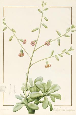 Cotyledon Cardiflorum, 1813 (W/C and Bodycolour over Graphite on Vellum)