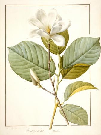 Magnolia Yulan, Magnolia Denudata, 1812 (W/C and Bodycolour over Traces of Graphite on Vellum)