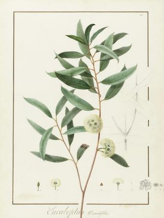Eucalyptus Diversifolia, 1811 (W/C and Bodycolour over Traces of Graphite on Vellum)