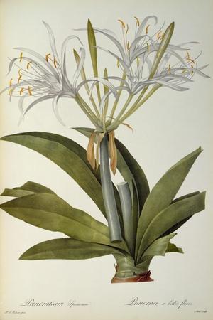 Pancratium Speciosum, from 'Les Liliacees', 1806