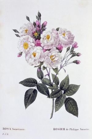 Rosa Noisettiana, Published 1824-26