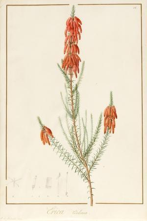 Erica Edilinei, 1811