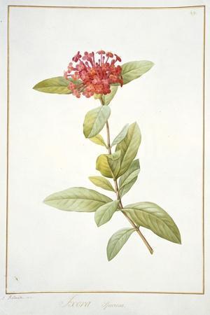 Ixora Speciosa, 1812