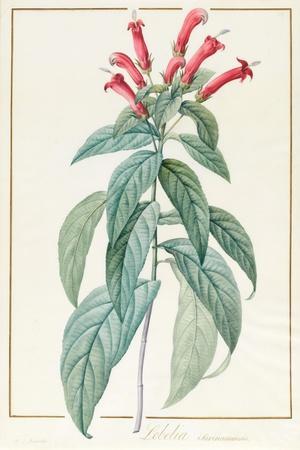 Lobelia Surinamensis