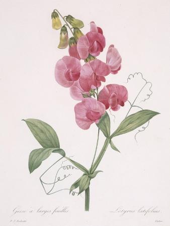 Lathyrus Latifolius (Everlasting Pea), 1827