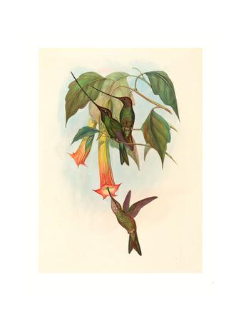 Docimastes Ensiferus (Sword-Billed Hummingbird), Colored Lithograph