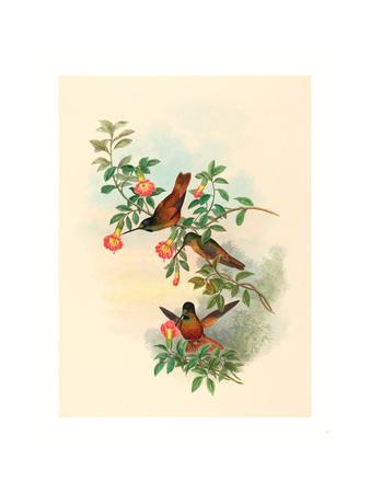 Helianthea Eos (Golden Star-Frontlet), Colored Lithograph
