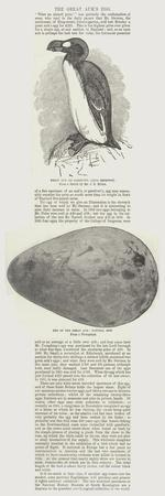The Great Auk's Egg
