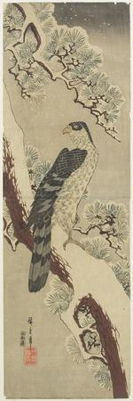 Hawk on Pine Branch, Winter, Early 19th Century