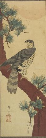 Hawk on Pine Branch, Summer, September 1853