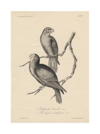 1. Psittacula Lineola and 2. Brotogeris Aurifrons, Litho by J.T. Bowen, 1850