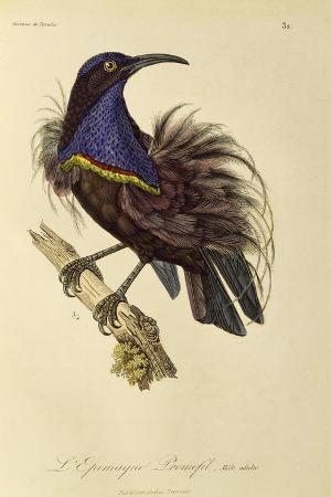 Adult Male of Paradise Riflebird (Ptiloris Paradiseus)