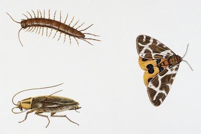 Garden Centipede (Lithobius Forficatus)