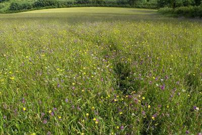 Hay Meadow Flowering on Set-Aside Field in Rural Landscape