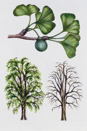 Ginkgo or Maidenhair Tree (Ginkgo Biloba)