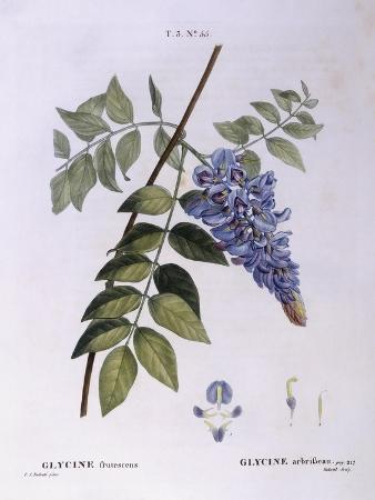 Glycine (Glycine Frutescens)