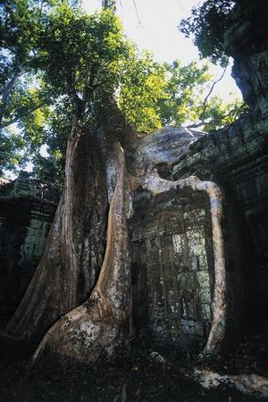 Huge Roots of Strangler Fig Temple of Wat Ta Prohm