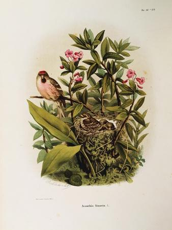 Illustration from Eugenio BettoniS Natural History of Birds That Nest in Lombardy Representing Comm