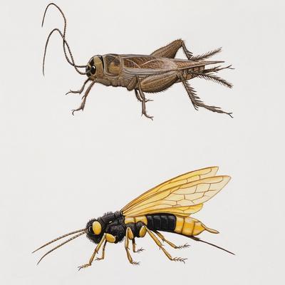 House Cricket (Acheta Domestica)