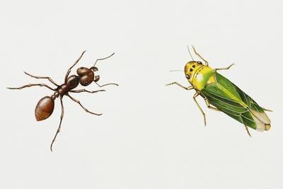 Leaf-Cutter Ant (Atta Cephalotes)