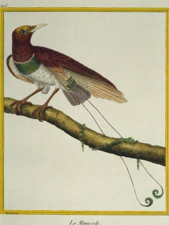 King Bird-Of-Paradise (Cicinnurus Regius)
