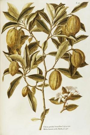 Lemon (Citrus Limon Burm)