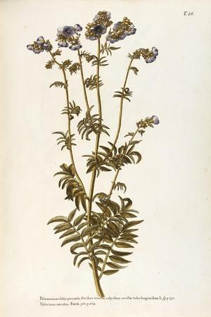 Polemoniaceae