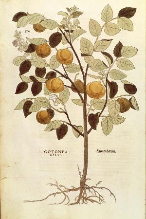 Quince - Cydonia Oblonga (Cotonea Malus) by Leonhart Fuchs from De Historia Stirpium Commentarii In