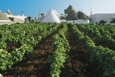 Vineyards and Trulli (Small Round Houses of Stone with a Conical Roof) in Locorotondo