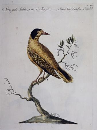 Yellow Starling (Indian or Bengal) (Sturnus Luteus Indicus