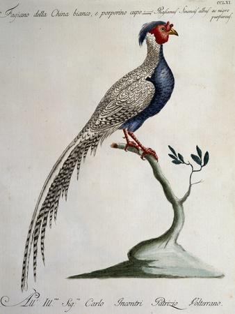 White and Dark Purple Chinese Pheasant (Phasianus Sinensis Albus Ac Nigro Purpureus)