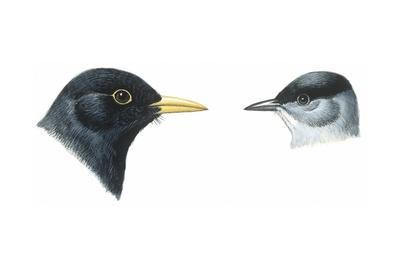 Birds: Passeriformes, Heads of Blackbird (Turdus Merula) and Blackcap (Sylvia Atricapilla)