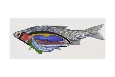 Diagram of Digestive System of Eurasian Daces (Leuciscus Sp), Bony Freshwater Fish