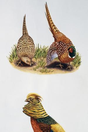 Common Pheasants Pair (Phasianus Colchicus) and Golden Pheasant (Chrysolophus Pictus), Phasianidae