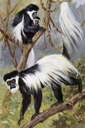 Mantled Guereza or Abyssinian Black-And-White Colobus (Colubus Guereza), Cercopithecidae