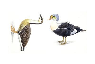 Birds: Anseriformes, King Eider (Somateria Spectabilis) and Swan Goose (Anser Cygnoides)
