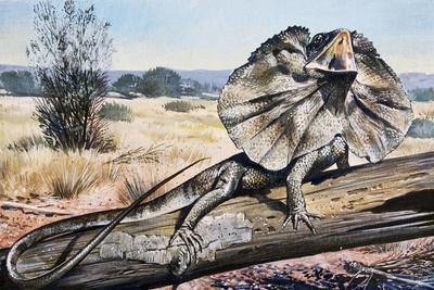 Frilled-Neck Lizard or Frilled Dragon (Chlamydosaurus Kingii), Agamidae