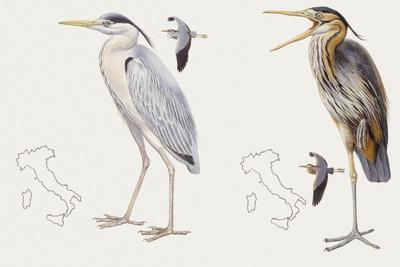 Zoology: Birds, Grey Heron (Ardea Cinerea) and Purple Heron (Ardea Purpurea)