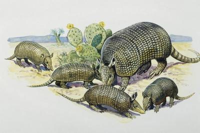 Female and Pups of Nine-Banded Armadillo (Dasypus Novemcinctus), Dasypodidae