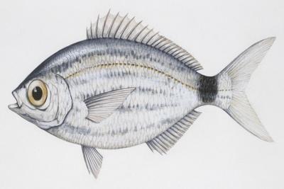 Fishes Perciformes Sparidae, Blackspot Seabream, (Pagellus Bogaraveo)
