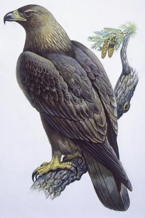 Zoology: Birds - Falconiformes - Golden Eagle (Aquila Chrysaëtos). Art Work