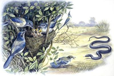 Birds: Passeriformes, Family of Western Scrub-Jay (Aphelocoma Californica)