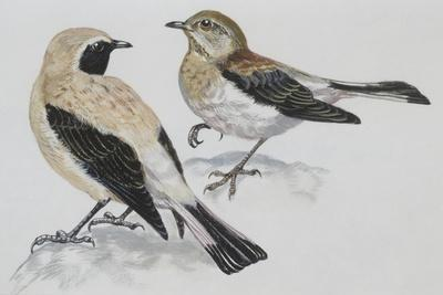 Zoology: Birds, Black-Eared Wheatear (Oenanthe Hispanica), Male and Female