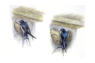 Birds: Passeriformes, Barn Swallow (Hirundo Rustica) Building Nest