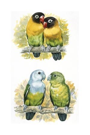 Birds: Coraciiformes, Rosy Bee-Eater (Merops Malimbicus) Excavating Nest Cavity