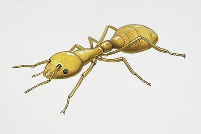 Pharaoh's Ant (Monomorium Pharaonis), Formicidae, Artwork by Tim Hayward